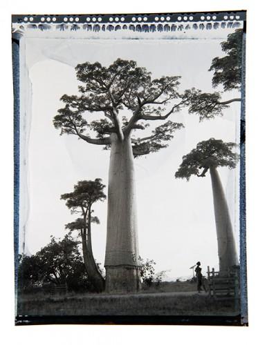 baobab #1