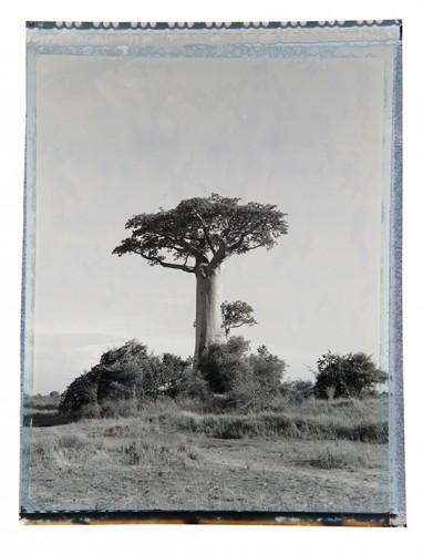 baobab #2