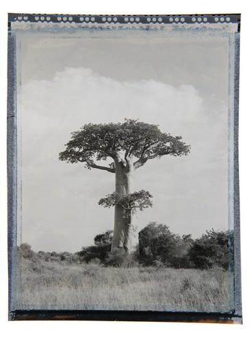 baobab #4