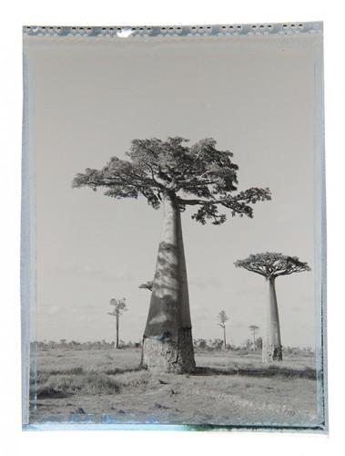 baobab #5
