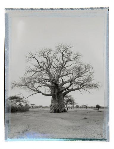 baobab #6